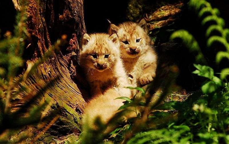 Chatons de lynx du Canada. © Pavel Vlcek, domaine public