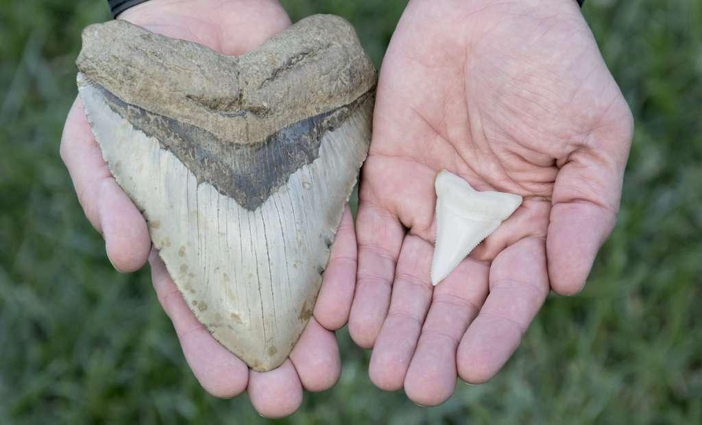 Les dents du mégalodon, ce requin préhistorique, pouvaient mesurer jusqu'à 12 centimètres (à gauche). Des dents sans commune mesure avec celles du grand requin blanc (à droite). © Mark Kostich, Fotolia