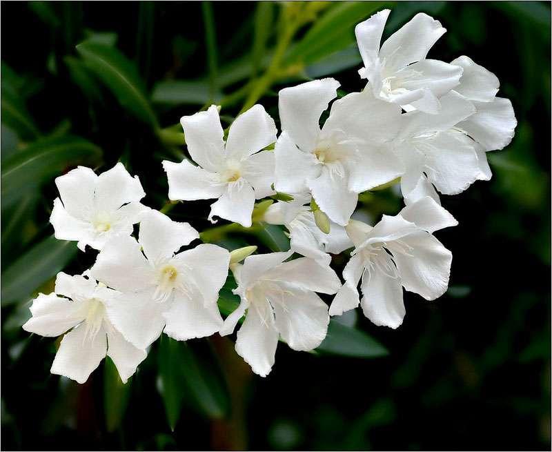 Luminosité avec la floraison blanche de certaines variétés de laurier-rose. © C-Surely Shirly, Domaine Public