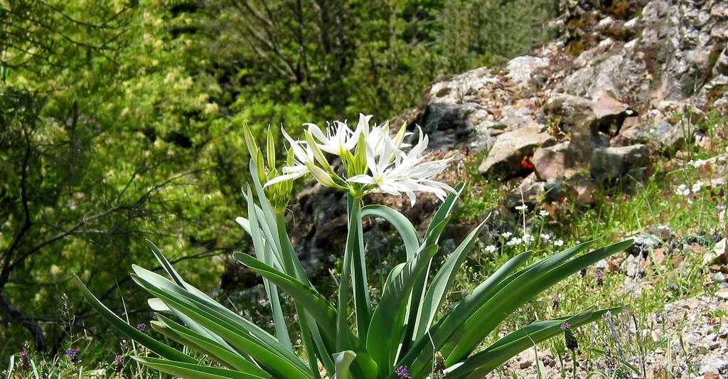 Pancrace d'Illyrie (Pancratium illyricum). © Jean-Pol GRANDMONT, Wikimedia commons, CC by-sa 3.0
