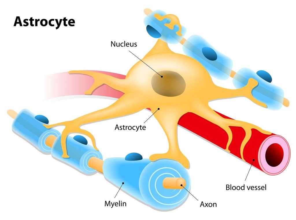Les astrocytes sont des cellules gliales en forme d'étoile qui jouent un rôle de soutien dans le cerveau. © designua, Fotolia