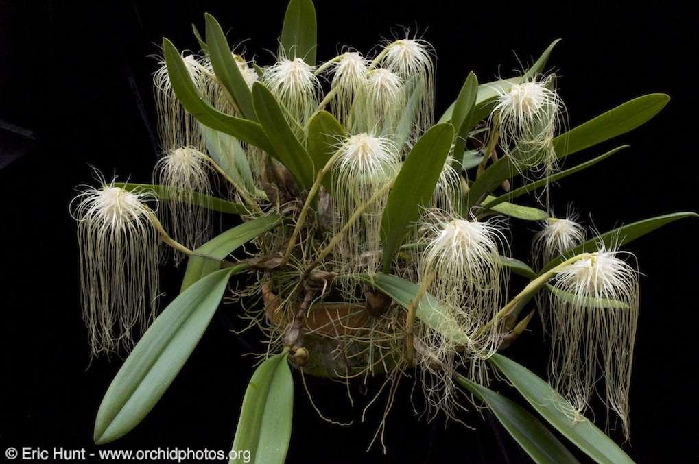 Orchidée Bulbophyllum medusae