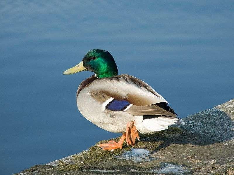 L'eau ne mouille pas les plumes de canard ! © ViseMoD, Wikipedia, CC by-sa 3.0