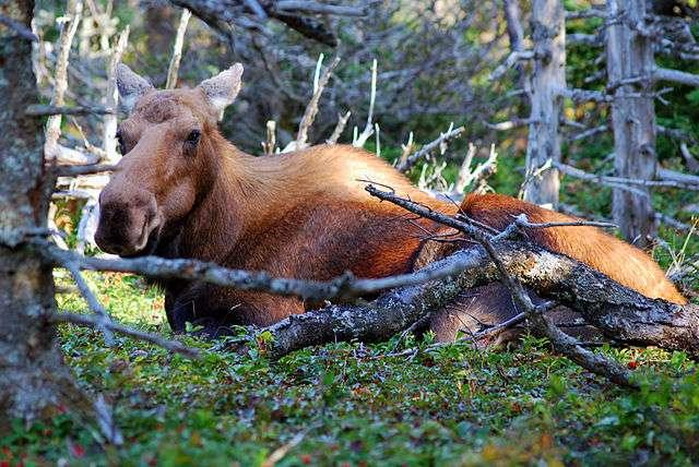 L'élan vit au nord-est des États-Unis et à l'est du Canada. © Chensiyuan, CC by-nc 3.0