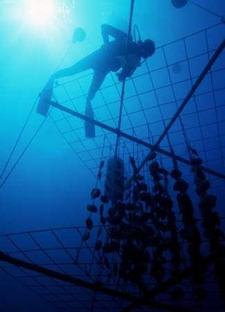 Chapelets d'huîtres sur filières. © Ifremer, tous droits de reproduction interdits