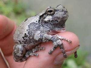 Les coupes forestières rases menacent les batraciens comme cette grenouille arboricole. © Université du Missouri