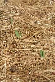 Le paillage protégera les semis de la déshydratation et de l'envahissement par les plantes adventices. © Arpent nourricier CC by-sa 2.0