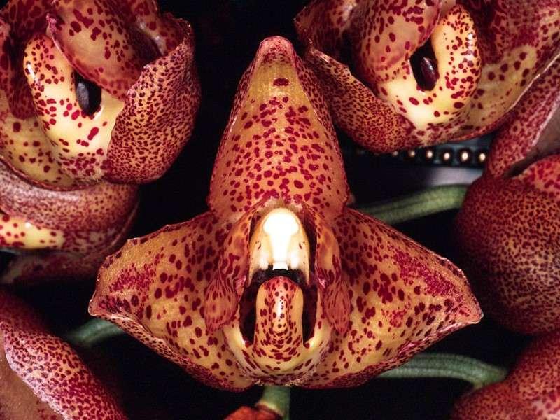Orchidée Acineta Superba