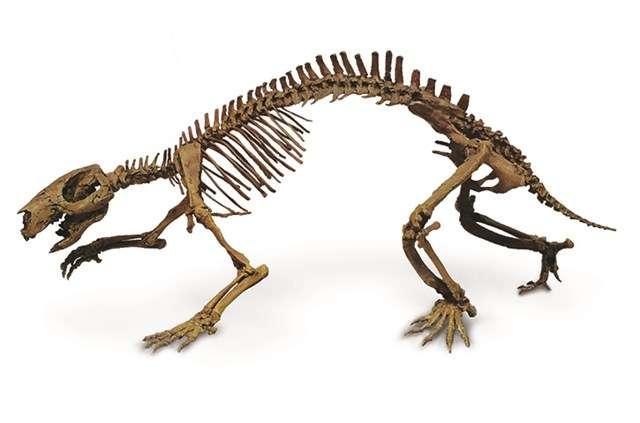 L'étrange squelette de l'Adalatherium. © Denver Museum of Nature & Science