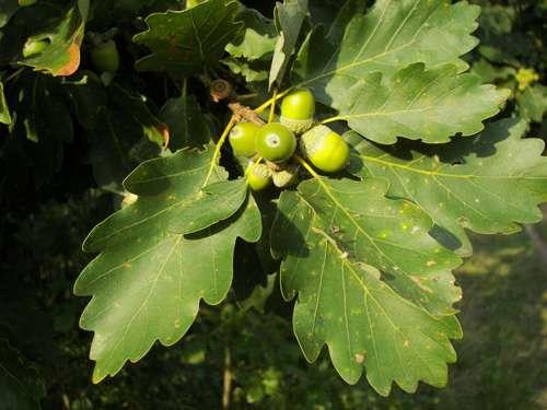 Chêne Quercus petraea. © Nikanos, CC Paternité – Partage des conditions initiales à l'identique 2.5 générique