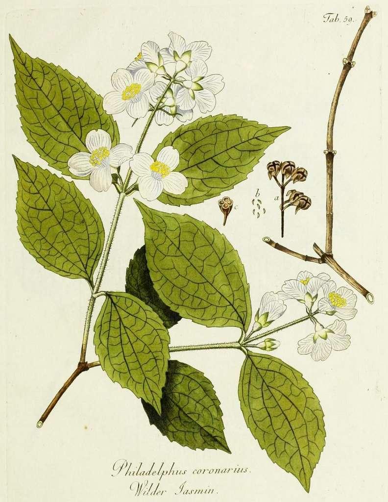 Un beau contraste entre le feuillage vert et la floraison blanche. © BHL, Domaine Public