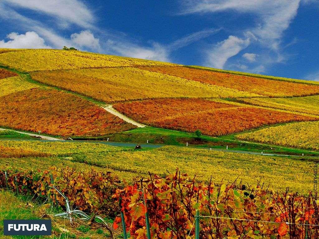 Vignobles en automne