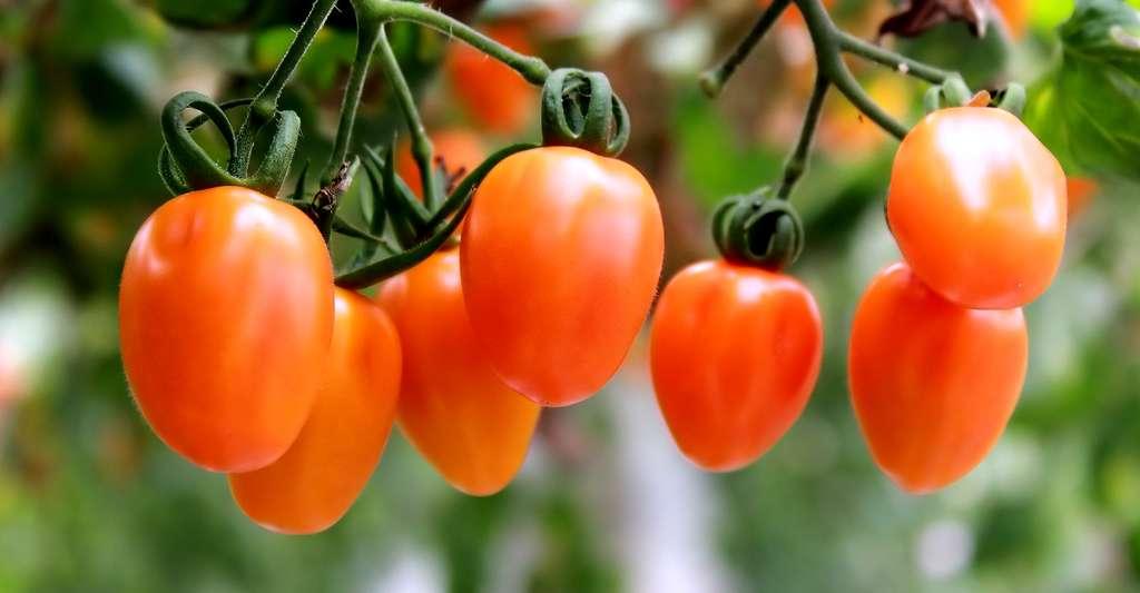 Cultiver des tomates, un vrai plaisir. © KevinPan, CCO
