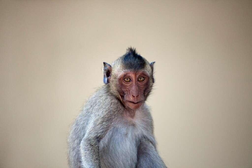 Malgré sa proximité avec l'être humain, le singe est un animal peu adapté pour constituer une banque d'organes. © fontoknak, Fotolia