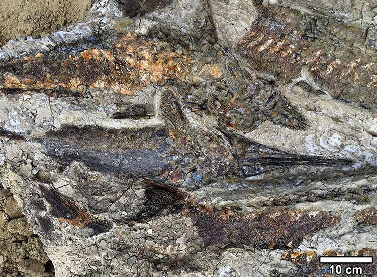 Les poissons d'eau douce morts en masses et dont les ouïes ont été obstruées par des tectites. © Robert DePalma 2019 UC Regents