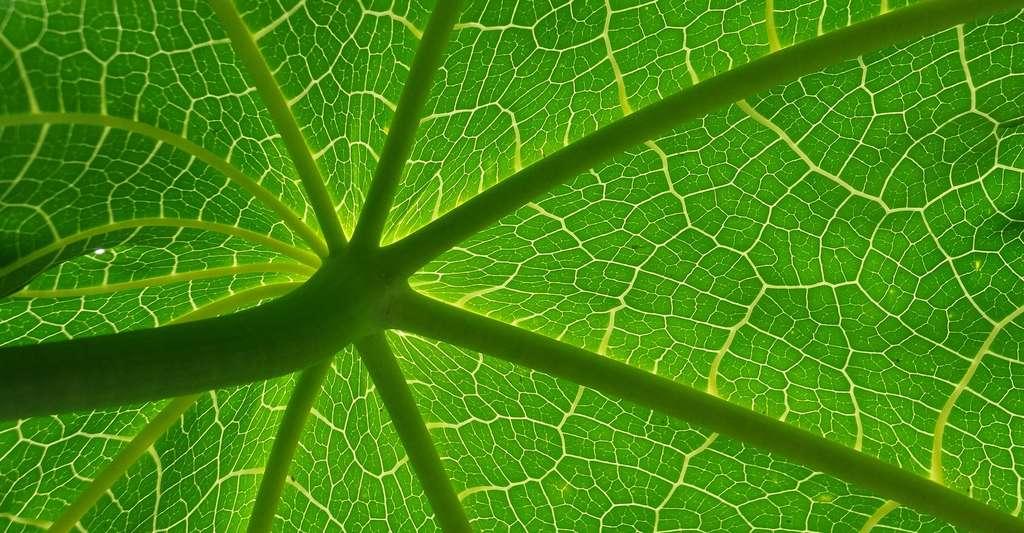 Le tissu végétal d'une feuille. © Rraree, Pixabay, DP