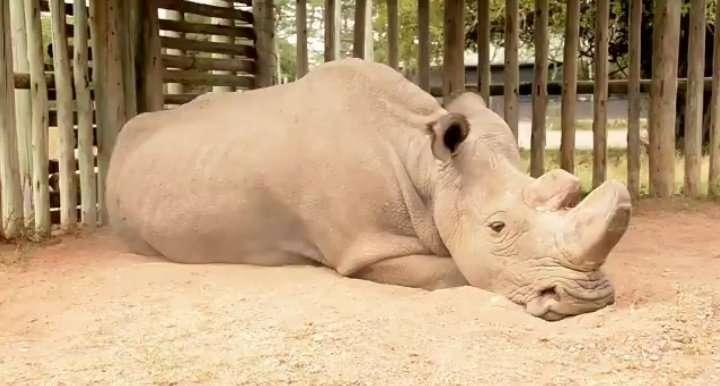 Photo de Sudan, 43 ans, tweetée le 6 novembre 2017. Il est le dernier rhinocéros blanc du Nord, (Ceratotherium simum cottoni) de la planète. Depuis son transfert du zoo Dvůr Králové en 2009, Sudan vit dans une réserve au Kenya. © D. Schneider
