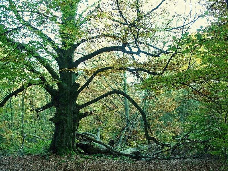 Allemagne : Forêt de Urwald Sababurg