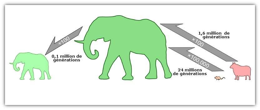 Pour les mammifères terrestres, une décroissance de facteur 100 se fait en 100.000 générations tandis qu'une croissance de même facteur prend 1,6 million de générations. © Evans et al. 2012, Pnas - adaptation Futura-Sciences