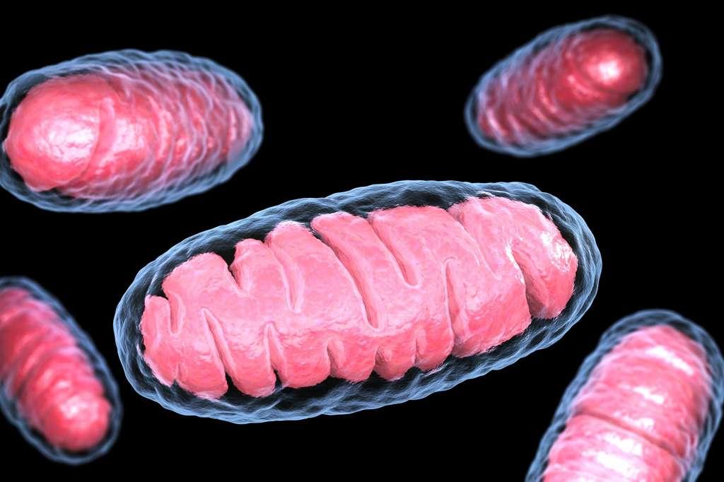Les mitochondries sont les usines énergétiques de la cellule et produisent de l'ATP grâce à la respiration cellulaire. © Tatiana Shepeleva, Fotolia