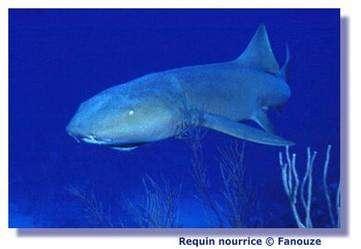 La reproduction des requins est bien particulière ! © Fanouze