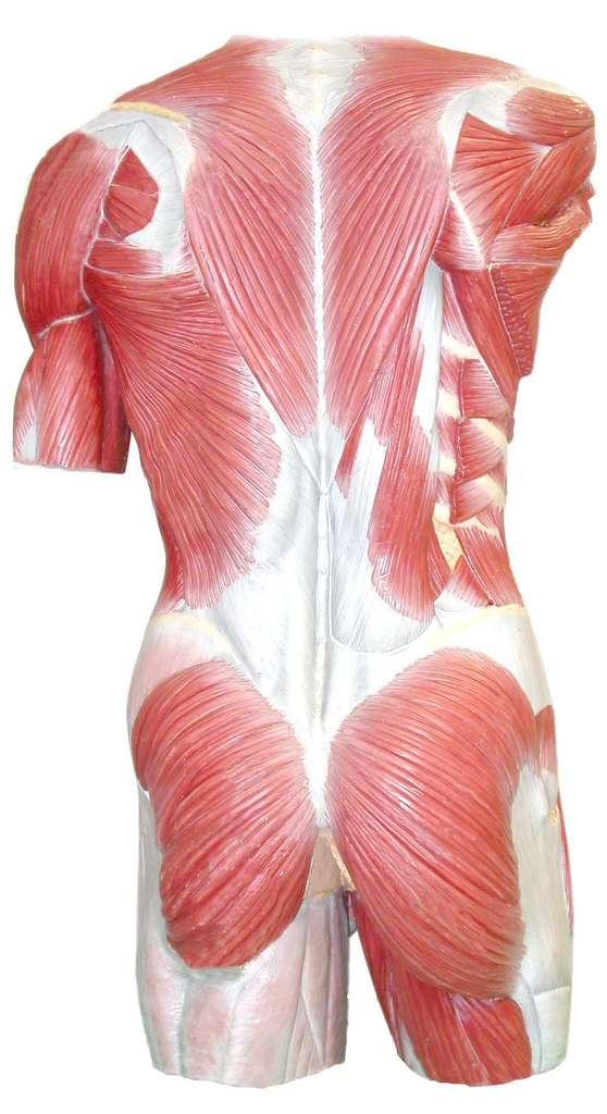 Le mal de dos est souvent musculaire, mais il peut être le signe d'une pathologie de la colonne vertébrale. © Euskalanato-flickr nc sa 2.0