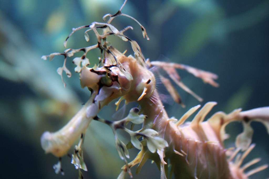 Ce camouflage par mimétisme fait la notoriété du dragon de mer feuillu. On comprend aisément l'origine de son nom. © Greyloch, Flickr, cc by nc nd 2.0