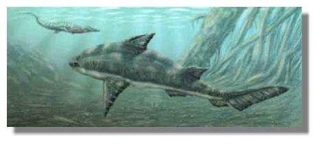Reconstitution d'un hybodonte mésozoïque typique, Hybodus . Ce requin pouvait dépasser trois mètres de long. © Dessin Alain Beneteau
