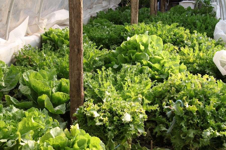 Chicorées et salades frisées sous abri pour en récolter tout l'hiver. © L.Bouvier, Adobe Stock