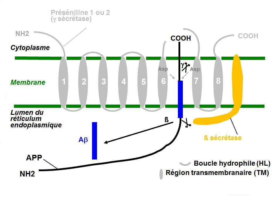 L'apolipoprotéine E permet de réparer les membranes cellulaires, et d'éliminer le peptide Aβ. © DR