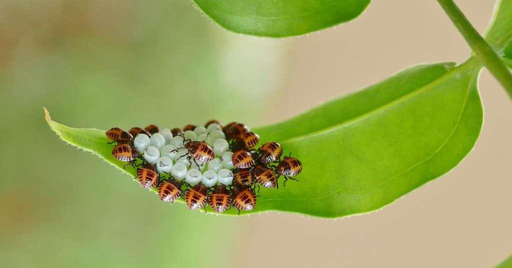 Les larves de punaise diabolique causent des ravages aux arbres fruitiers, vignes et cultures de maïs. © Sandrine Rouja, Flickr