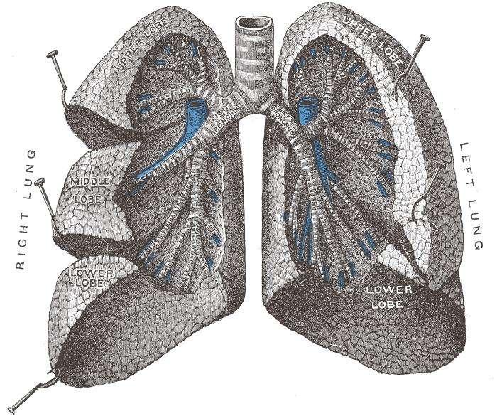 Le poumon droit (right lung) est constitué de trois lobes pulmonaires, alors que le poumon gauche (left lung) n'en possède que deux. © Gray's anatomy, domaine public