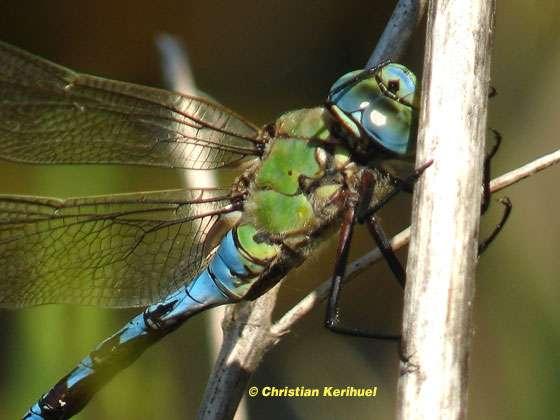 Le comportement des libellules
