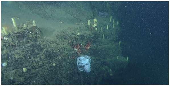 La maman Graneledone boreopacific, ici en photo, vivait dans le canyon de Monterey, au large de la Californie. © 2014 Robison et al., PLOS One, CC by 4.0