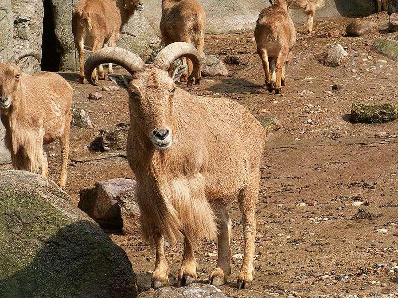 Mouflon à manchettes. © Domaine public