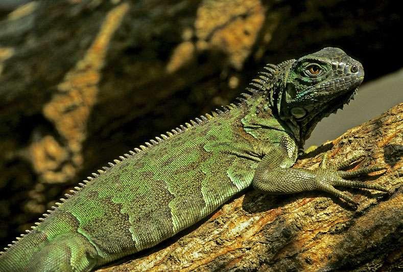 L'iguane vert (Iguana iguana). © Sylvain Lefebvre et Marie-Anne Bertin, DR