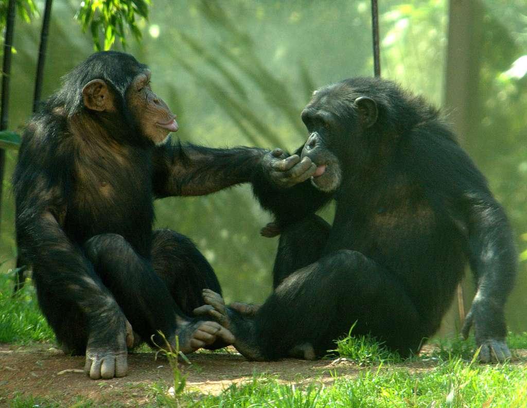 Chez les chimpanzés, les femelles virent au rouge lorsqu'elles sont prêtes à assumer un petit. Cela ne veut pas dire que les jeux de l'amour ne sont pas complexes. Il y a chez eux aussi un jeu de séduction et des relations d'affinité se créent entre mâles et femelles, même si ceux-ci sont de rangs inférieurs. Il arrive parfois qu'ils vivent leur romance à l'abri des regards du mâle dominant. © ucumari, Flickr, cc by nc nd 2.0