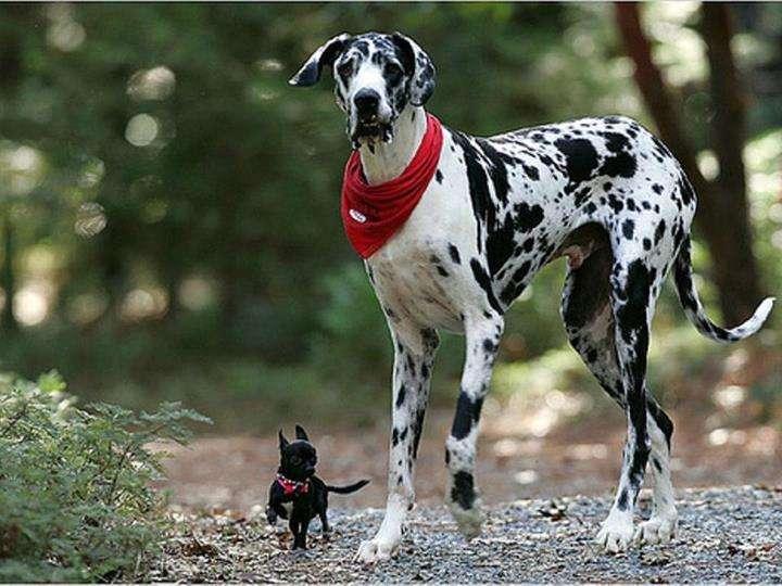 Dalmatien et mini chien !