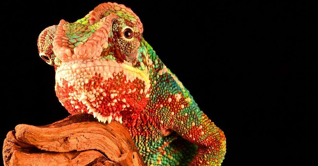 Les couleurs du caméléon en alerte. © Unsplash, CCO