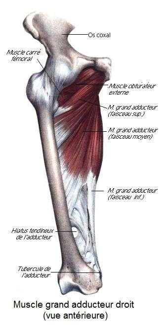 Localisation du muscle grand adducteur et de ses trois faisceaux. © Berichard d'après Bonamy (1844), Wikipedia, CC by-sa 3.0