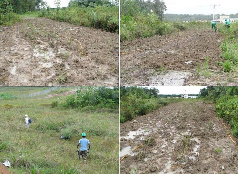 La construction du site de l'Ensemble de lancement Soyouz a nécessité de déplacer Stachytarpheta angustofolia, une plante protégée par arrêté ministériel. Elle a fait l'objet d'une transplantation, en février 2008, de la zone du carneau de l'ELS vers une zone sanctuaire. Un suivi est réalisé chaque année. © Cnes