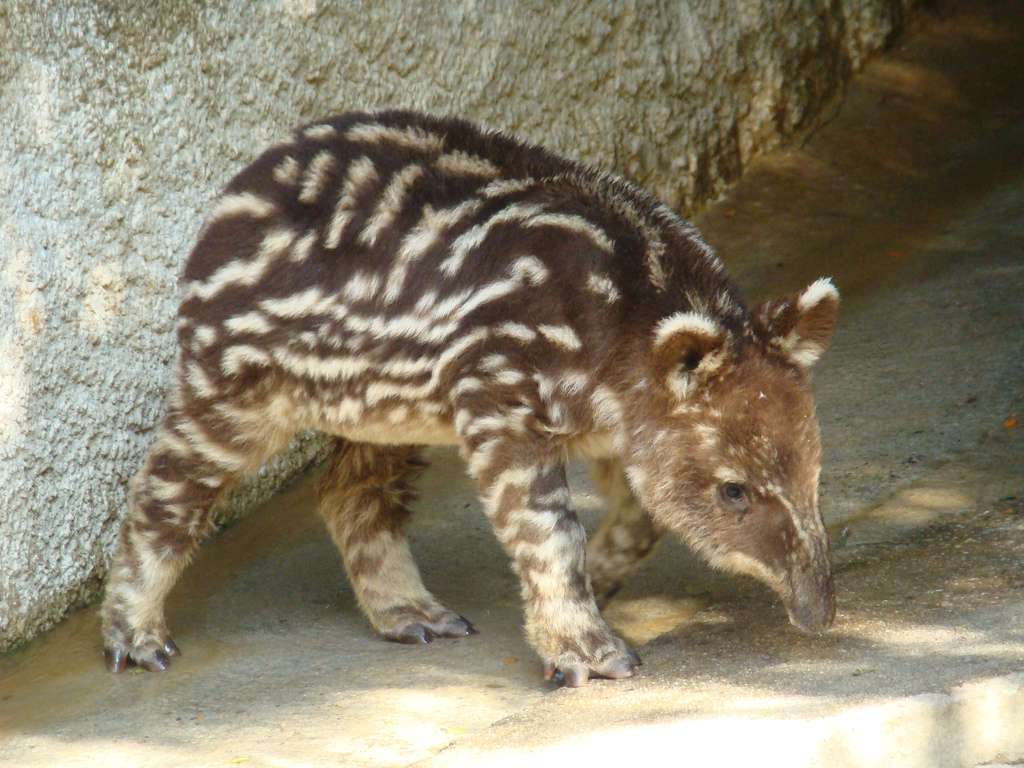 Juvénile de tapir pinchaque. On constate les bandes colorées caractéristiques des jeunes individus. © mstickmanp, Flickr, cc by nc sa 2.0