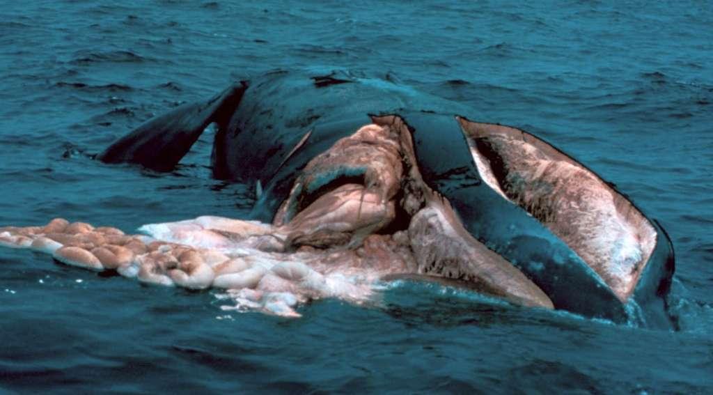 Cette baleine franche de l'Atlantique nord a été lacérée par l'hélice d'un navire. © NOAA, DP