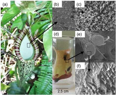 Plante carnivore du genre Nepenthes (photos Laurence GAUME, CNRS Montpellier, suivre les flèches…)
