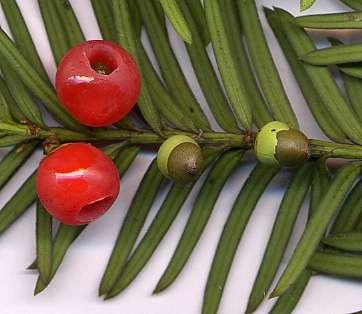 If, le fruit © Wikipedia