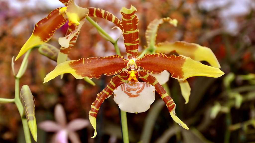 Une orchidée tigre endémique du Costa Rica : Rossioglossum grande