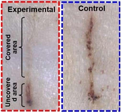Chez le rat, une blessure soignée avec un pansement électrique (en haut à gauche) guérit plus vite qu'avec un pansement témoin (à droite). © American Chemical Society, Long et al 2018