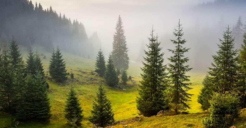 Forêt de sapins. © Nataliakhon, Shutterstock