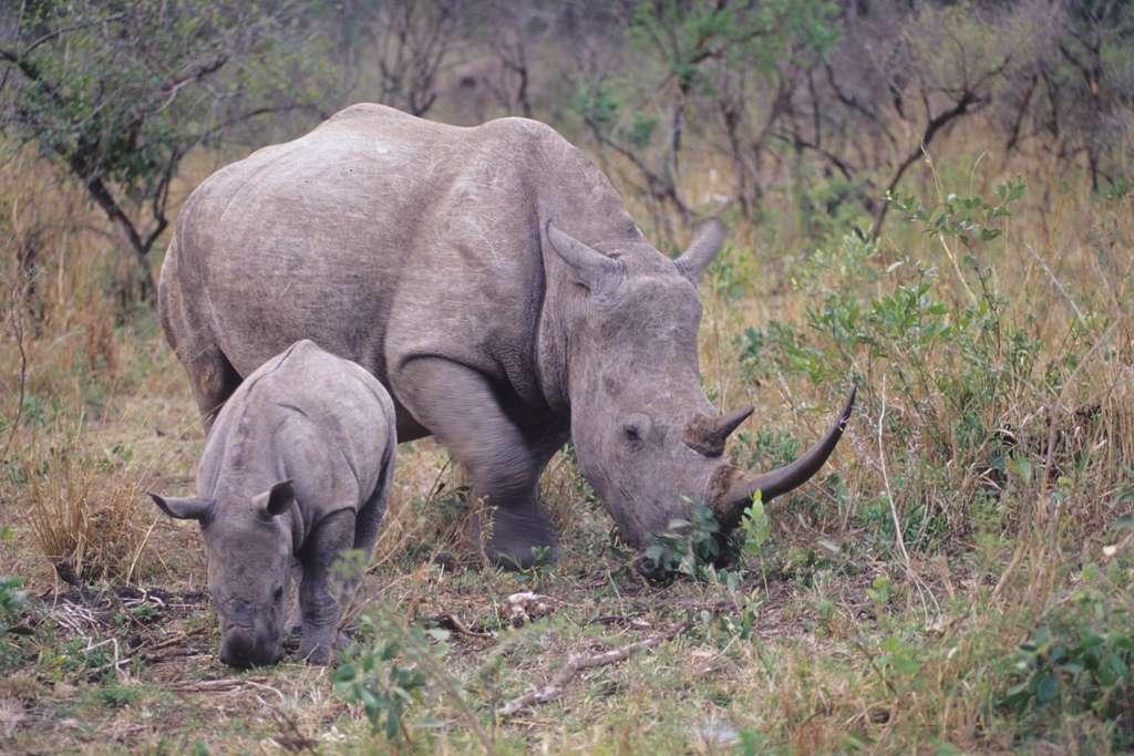 On trouve de nombreux rhinocéros en Namibie. Ceux-ci sont menacés par la chasse. © Mazzaki, CC by-sa 2.0