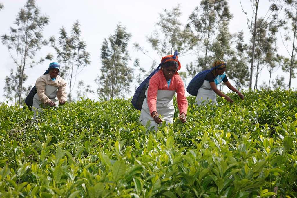 Photo de femmes lors de la cueillette du thé